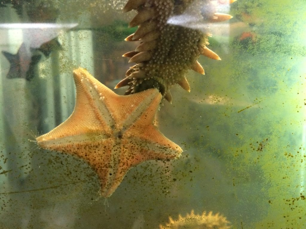 留萌市海のふるさと館のヒトデとナマコ