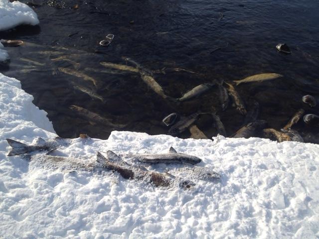 大量の鮭の死骸