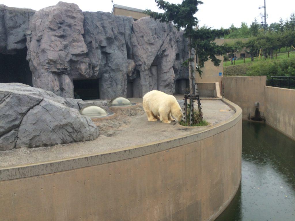 ホッキョクグマ (旭山動物園)