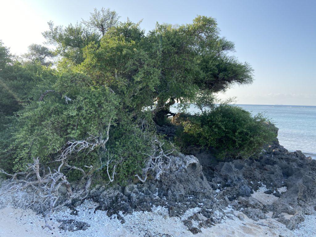 浜シタン群落